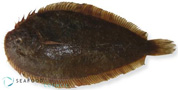 New Zealand Sole - Peltorhamphus novaezeelandiae