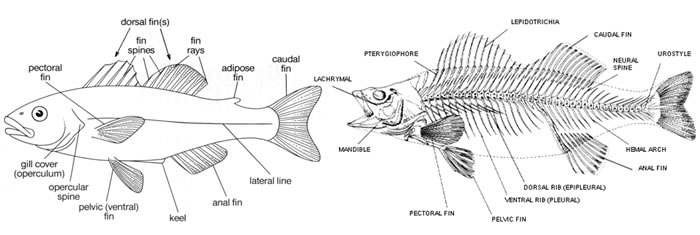 Fish Skeletal Structure