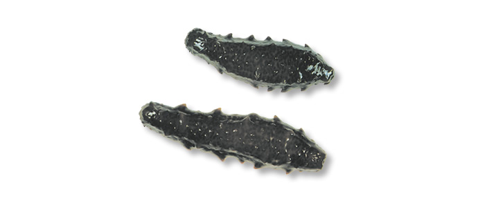 Sea Cucumber - Stichopus mollis
