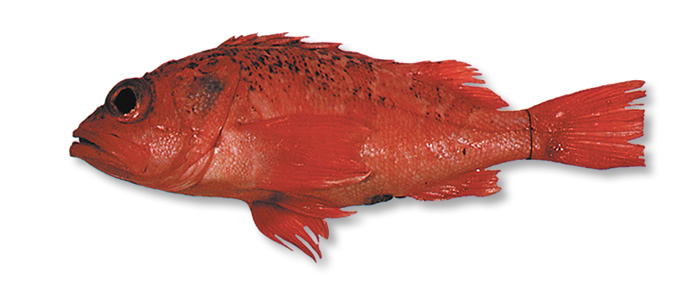 Sea Perch - Helicolenus barathri