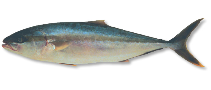 Yellowtail Kingfish - Seriola lalandi