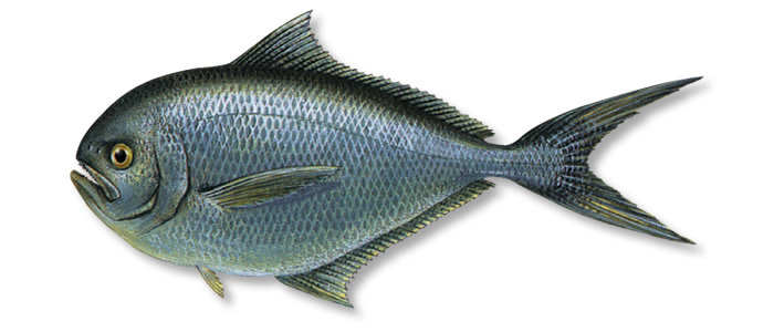Rays Bream - Brama brama